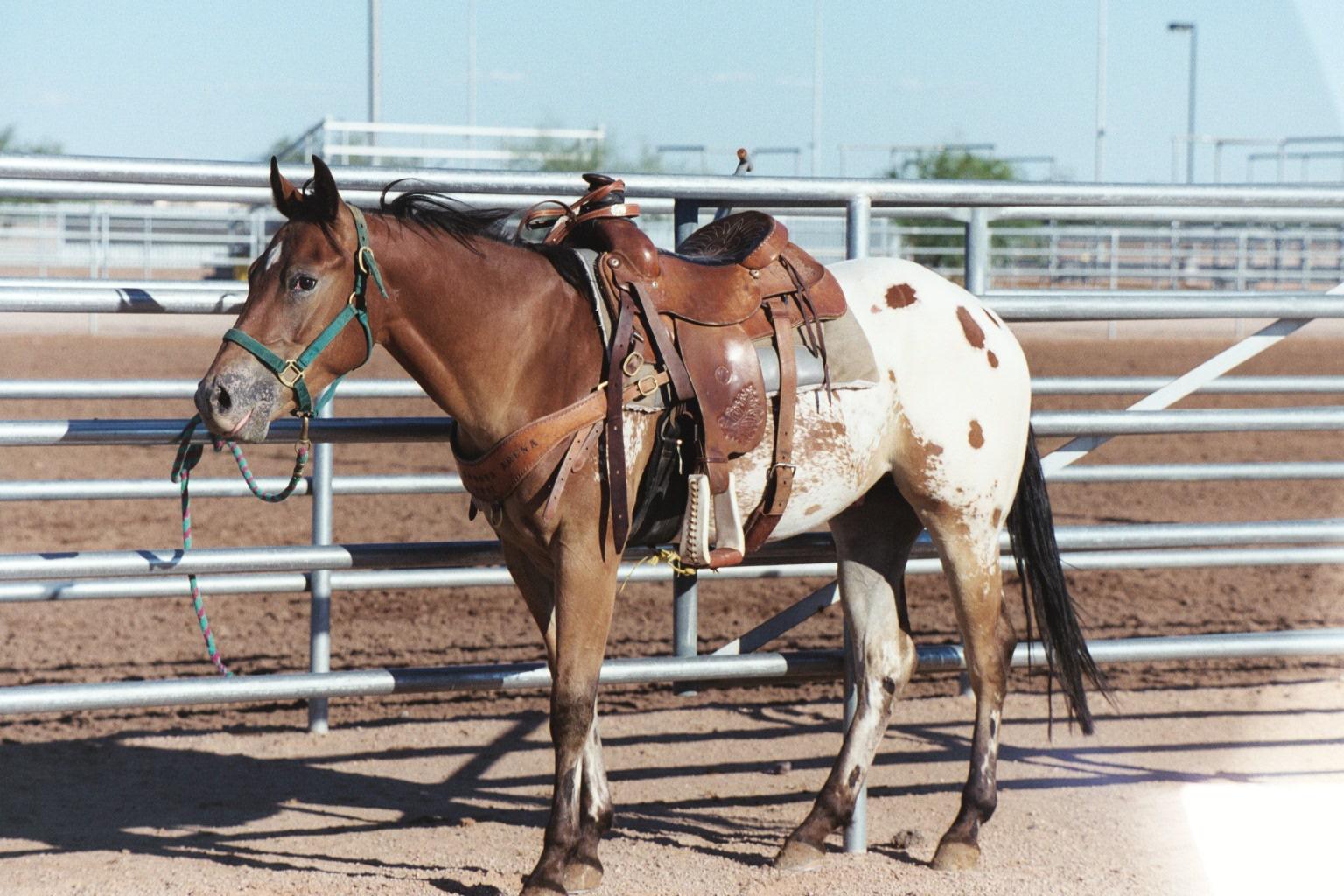 Appaloosa Horses Saddleupcolorado